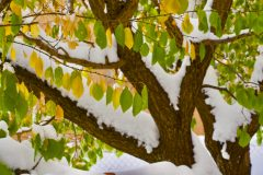 EARLY SNOW ON APRICOT TREE