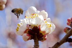 Apricot Buds, Bee