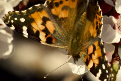 EARLY SPRING BUTTERFLY