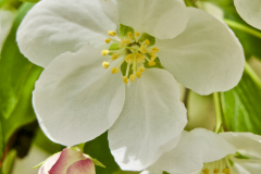CRAB APPLE FLOWERS