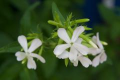 First Honeysuckle Flowers